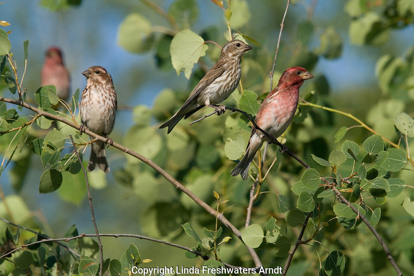 Male and female purple finch (Carpodacus purpureus) in an aspen