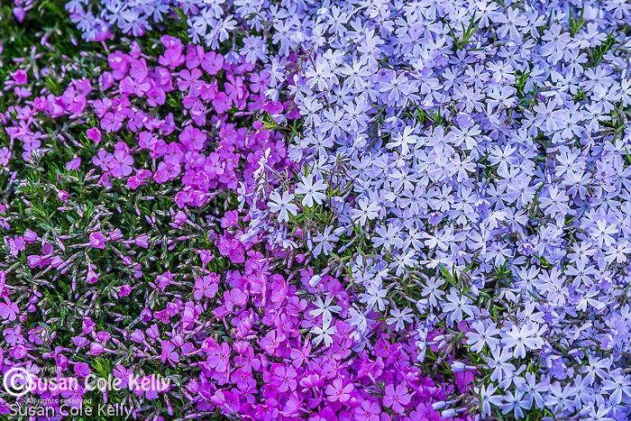 Phlox on the Rose Fitzgerald Kennedy Greenway, Boston, Massachusetts, USA
