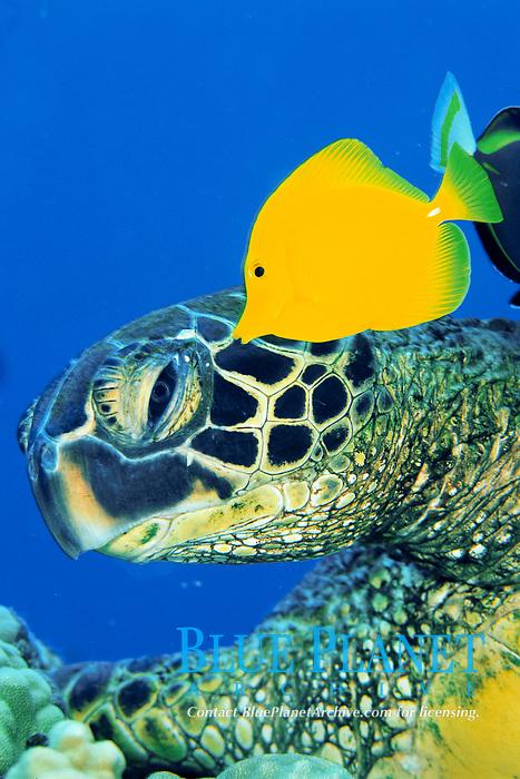 green sea turtle, Chelonia mydas, cleaned by yellow tang, Zebrasoma flavescens, Kona, Big Island, Hawaii, Pacific Ocean
