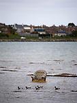 Discarded Armchair, Bull Island, Dublin, with Light Bellied Brent Goose,  branta bernicla