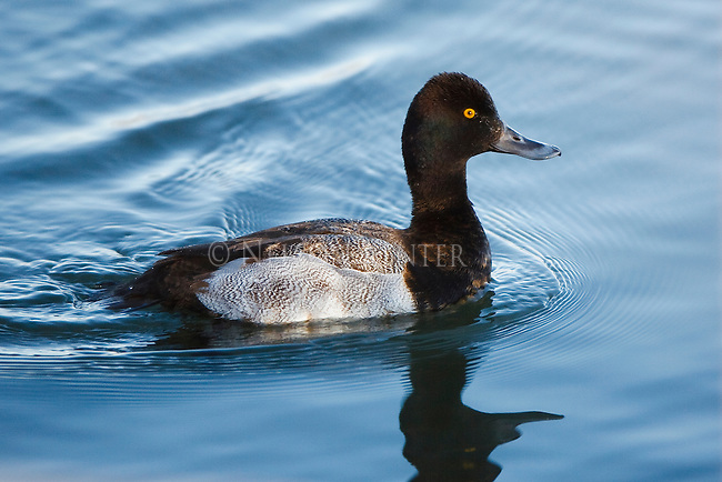 Immature Lesser Scaup in January in Montana