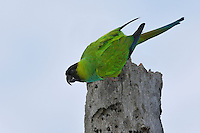 Nanday Parakeet - Aratinga nenday