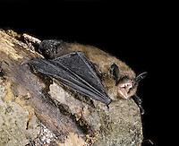 Brandt's Bat Myotis brandtii Wingspan 21-25cm Small, poorly studied bat. Similar to Whiskered Bat. Adult has long, fluffy fur, yellowish brown above and greyish below. Ears are dark brown, shorter than those of Whiskered. Wings are dark brown and rather narrow. Utters twittering squeaks when alarmed. Echolocates in 40-80khz range. Favours open woodland. Full range is poorly known but widespread in Wales and W and N England. Sometimes emerges from roost in late afternoon. Flight is rapid with short glides. Roosts in buildings, roofs and bat boxes in summer, hibernates in tunnels, tree holes and cellars.