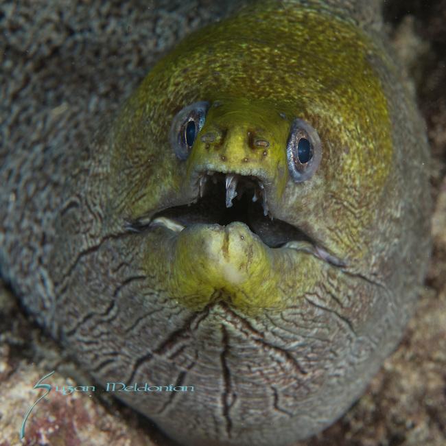 Greenish Moray eel, gymnothorax, Maldives