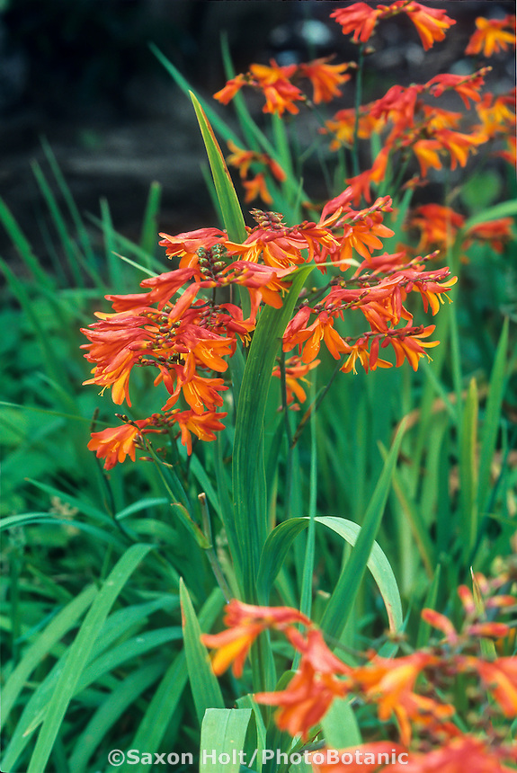 Crocosmia masoniorum flowers