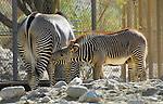 Grevy's zebra nursing