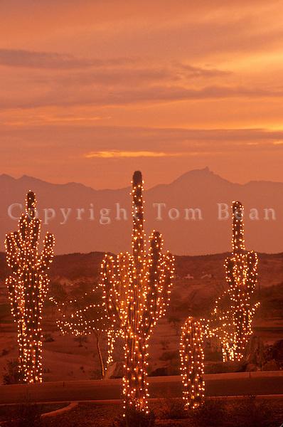 Saguaro cactus with holiday lights, sunset near Phoenix, Arizona, USA, TomBean_Pix_1943