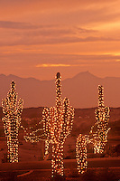 Saguaro cactus with holiday lights, sunset near Phoenix, Arizona, USA, TomBean_Pix_1943