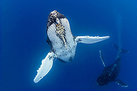 humpback whale, Megaptera novaeangliae, courtship behavior - male approaches female while blowing bubbles aggressively, note parasitic acorn barnacles under chin, Cornula diaderma, Hawaii, USA, Pacific Ocean