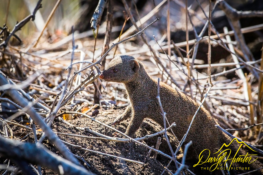 Mongoose, Sabi Sands Game Reserve