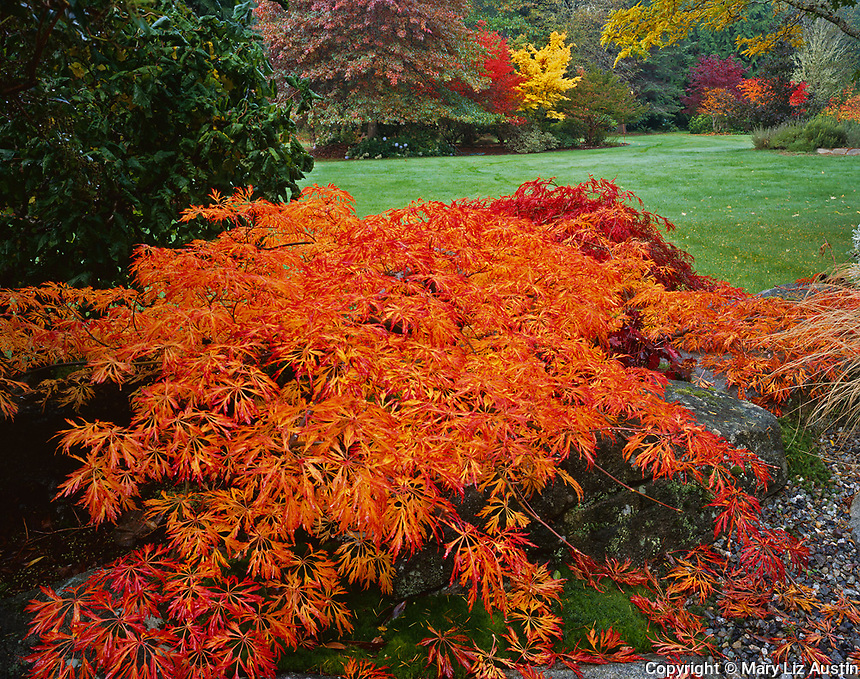 Vashon Island, WA  <br /> The weeping form of a Japanese maple (Acer japonicum 'green cascade') with brilliant orange leaves of autumn