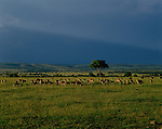 A herd of impalas graze on the plains of Masai Mara, Kenya.