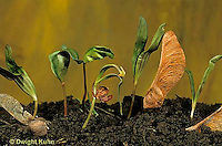 MP02-012z  Sugar Maple -  seedlings, seed coats - Acer saccharum