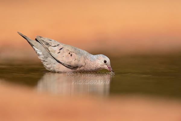 Common Ground-Dove (Columbina passerina), adult drinking, Rio Grande Valley, South Texas, Texas, USA