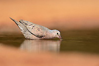 Common Ground-Dove (Columbina passerina), adult drinking, Rio Grande Valley, South Texas, Texas, USA