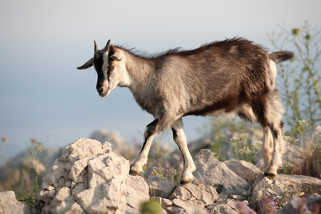 Stock photos of Mountain goats in the Dalamtian hills - Dubrovnik, Croatia