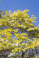 Cornus florida 'First Lady' variegated flowering dogwood foliage with white flowers in spring