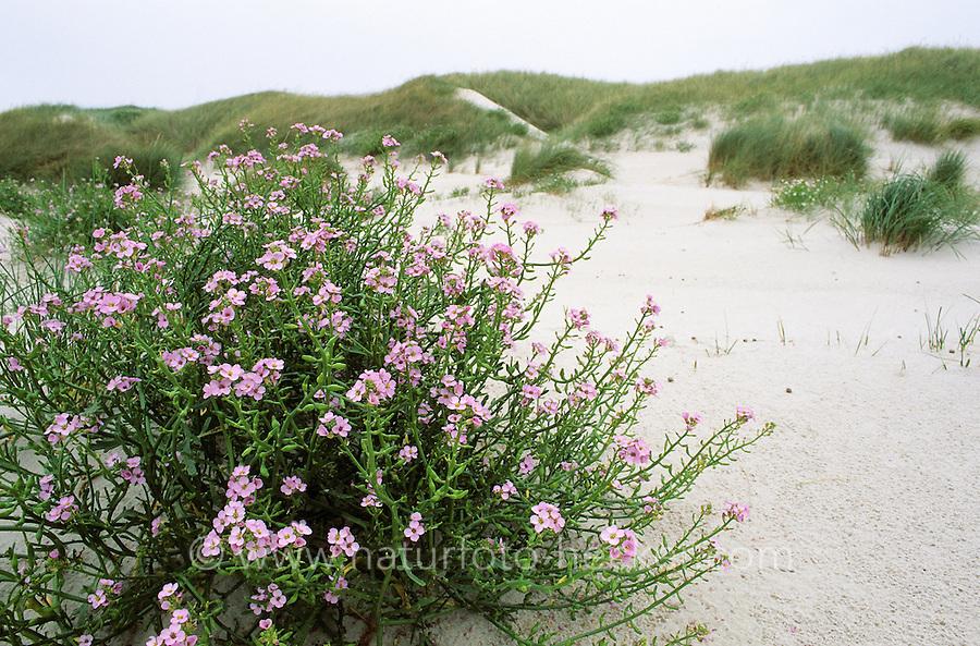 Europäischer Meersenf, Meer-Senf, Küstendünen, Weißdüne, Düne, Cakile maritima, Sea Rocket
