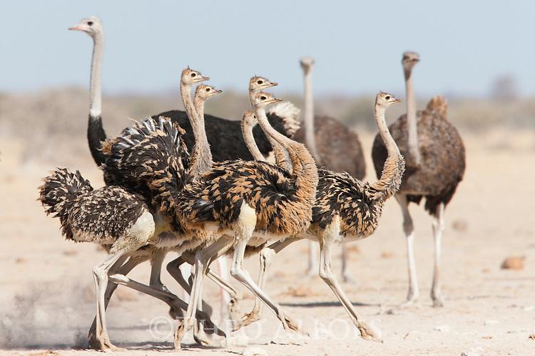 Botswana, Nxai Pan National Park, Kalahari, ostrich family (Struthio camelus)