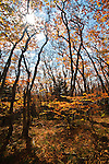 Autumn beech gap? G1 Critically Imperiled?At very high risk of extinction