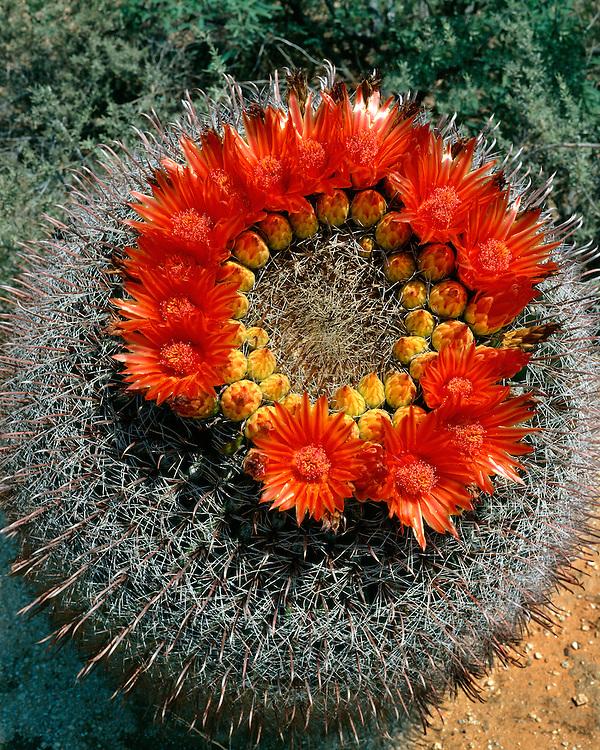 Barrel Cactus (Ferocactus wislizenii) in bloom in Madera Canyon; Coronado National Forest, AZ