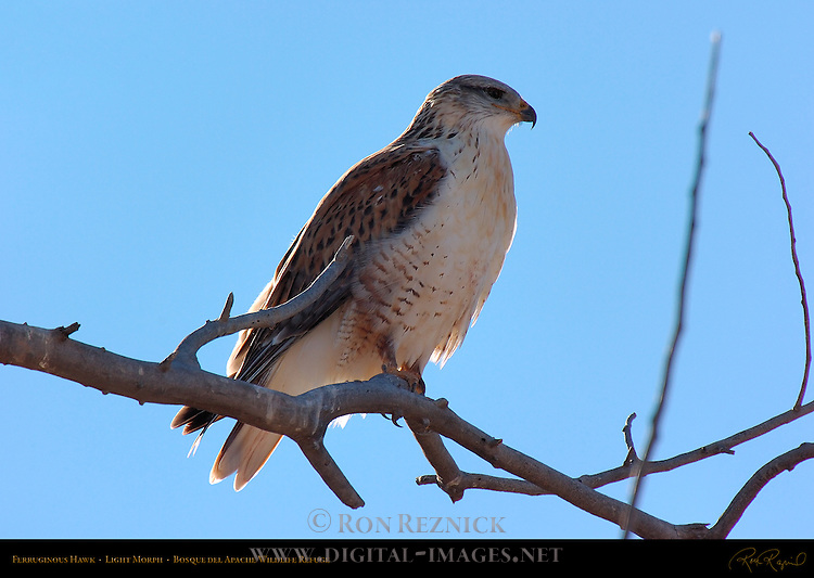 Ferruginous Hawk, Light Morph, Royal Hawk, Bosque del Apache Wildlife Refuge, New Mexico