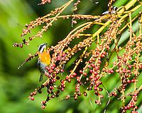 Western Spindalis (Spindalis zena) feeding on palm fruits. La Güira National Park, Cuba.