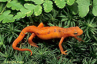 SL04-039b  Red -Spotted Newt - eft stage (land form) - Notophthalmus viridescens.