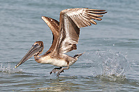 Brown Pelican - Pelicanus occidentalis - juvenile