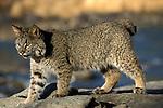 Bobcat, Lynx rufus, Minnesota, walking along riverbank, summer.USA....