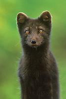 630650370 Arctic Fox Alopex lagopus WILD.Portrait.St. George, Pribilof Islands, Alaska