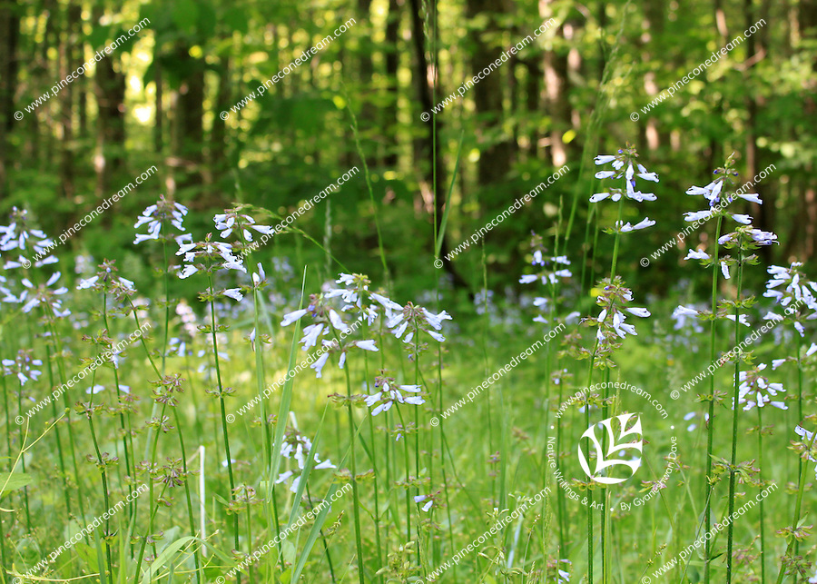 Gorgeous delicate light blue  wildflowers grown in the valley of the great smoky mountain national park, Tennessee, USA - stock image.