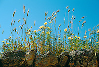 Wildflowers on wall in Crete