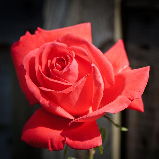 Rose study
