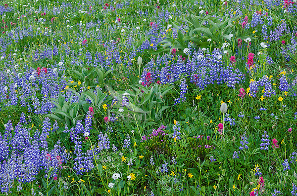 Wildflowers--lupine, arnica, paintbrush, valerian, heather, anemone or western pasqueflower and false hellebore (big green leaves)--in subalpine meadow, Mount Rainier National Park, WA.  Summer.