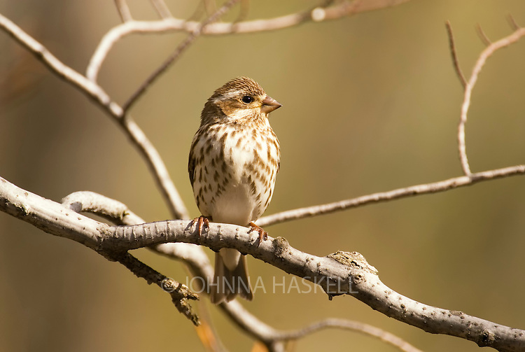 Female finch on a branch in spring showing profile.