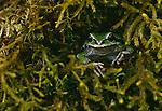 Pacific treefrog, Olympic National Park, Washington