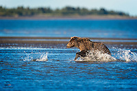 This salmon created a splash at the wrong time.  The Coastal Brown Bear (Ursus arctos) was only about 25 feet away when she noticed the splash.  The bear closed that distance almost instantly and the hunt was over almost as soon as it began.  Finely attuned instincts, quickness and power of the bear combined to signal the end for the unfortunate fish.  Lake Clark National Park, Alaska.