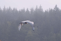 Great Blue Heron (Ardea herodias) in Flight, Orcas Island, San Juan Islands, Washington, US