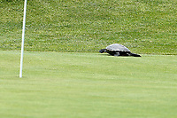 A turtle crawls across the third green during the final round of the ShopRite LPGA Classic presented by Acer, Seaview Bay Club, Galloway, New Jersey, USA. 6/10/18.<br /> Picture: Golffile | Brian Spurlock<br /> <br /> <br /> All photo usage must carry mandatory copyright credit (&copy; Golffile | Brian Spurlock)