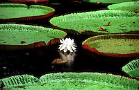 Giant Amazonica Water Lillies at a Botanic Garden in Pamplemousses, Mauritius. I made this image while retracing Mark Twain's journey around the world exactly 100 years earlier.