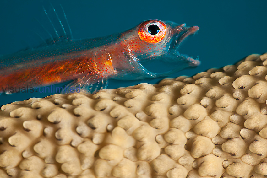Whip Coral Goby (Bryaninops amplus) on Whip Coral, Yap, Micronesia.