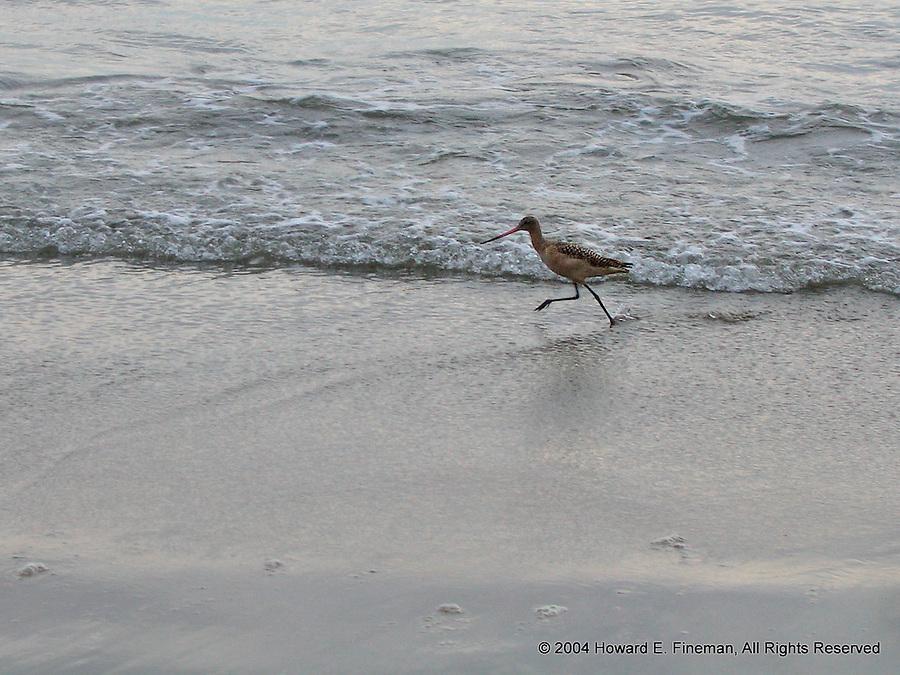 Pacific Sandpiper