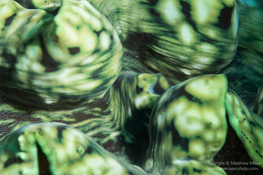 Great Barrier Reef, Australia; a detail view of a green and yellow giant clam