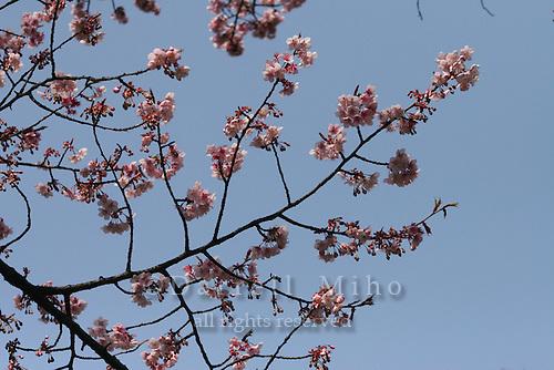 Mar 8, 2006; Tokyo, JPN; Ueno.Cherry blossoms at Ueno Park...Photo credit: Darrell Miho