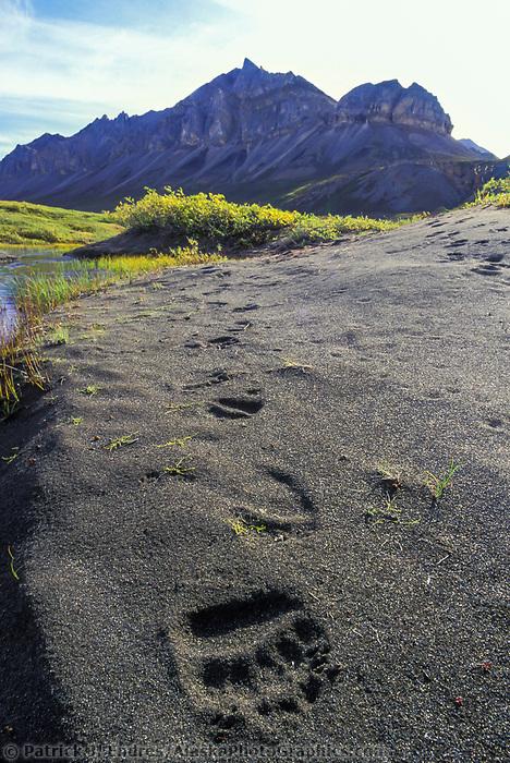 Grizzly bear tracks, Brooks Range, Alaska