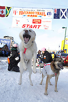 DeeDee Jonrowe dogs are ready to go from the starting line during the ceremonial start day of the 2011 Iditarod in Anchorage, Alaska