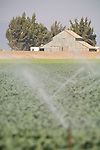 Large corrugated barn, irrigated field. Salinas Valley of Calif.