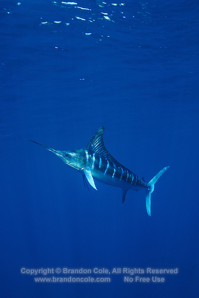 qf0515-D. Striped Marlin (Tetrapturus audax). Baja, Mexico, Pacific Ocean..Photo Copyright © Brandon Cole. All rights reserved worldwide.  www.brandoncole.com..This photo is NOT free. It is NOT in the public domain. This photo is a Copyrighted Work, registered with the US Copyright Office. .Rights to reproduction of photograph granted only upon payment in full of agreed upon licensing fee. Any use of this photo prior to such payment is an infringement of copyright and punishable by fines up to  $150,000 USD...Brandon Cole.MARINE PHOTOGRAPHY.http://www.brandoncole.com.email: brandoncole@msn.com.4917 N. Boeing Rd..Spokane Valley, WA  99206  USA.tel: 509-535-3489