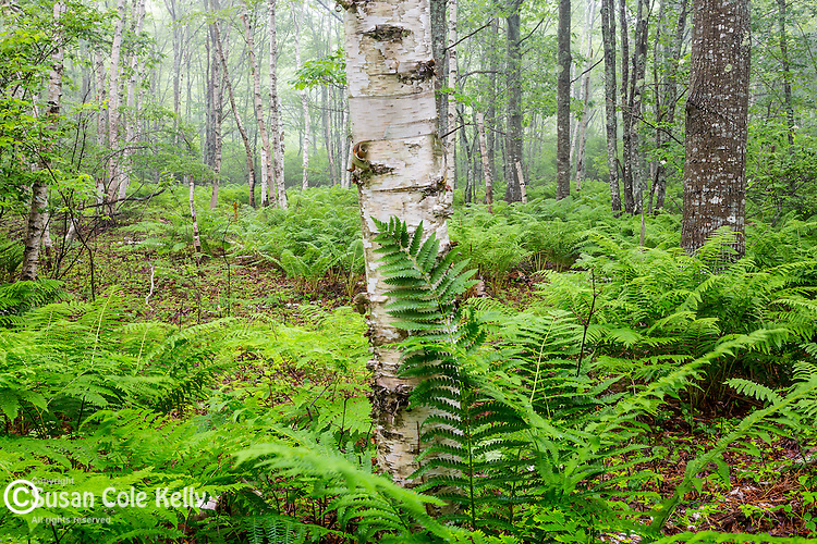 Fern and birch trees in Acadia National Park, Maine, USA